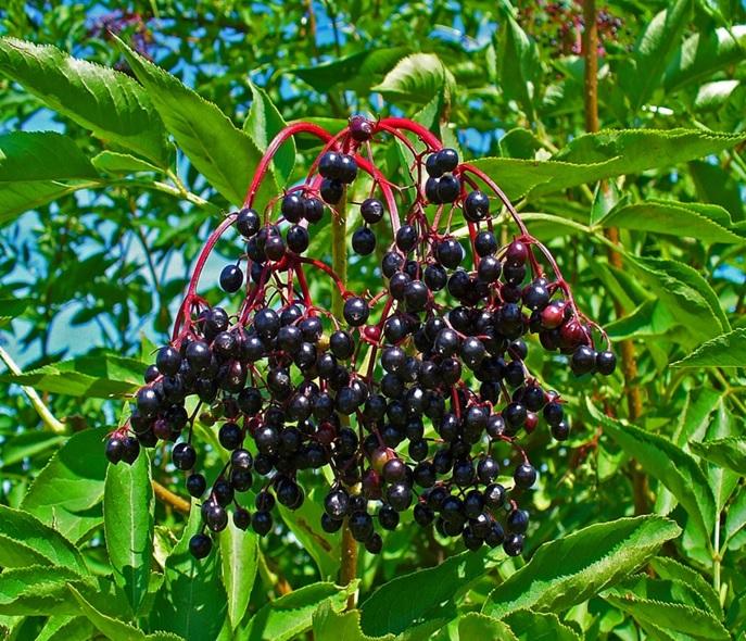 Quả cây cơm cháy (Elderberry fruit)