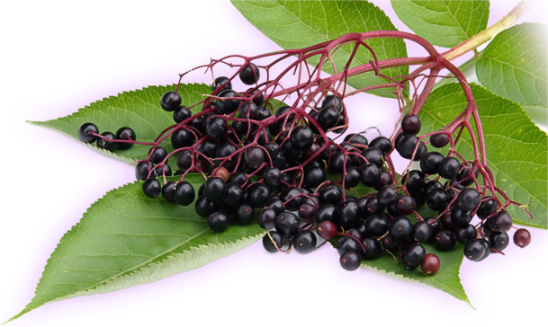 blackelderberry